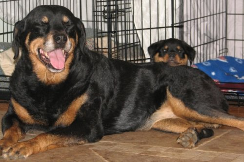 Esmond Rottweilers - Am CH Esmonds You're My Lucky Charm HCT